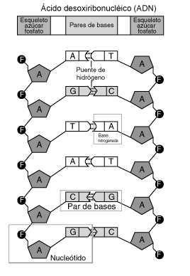 20150104-nucleotido.png